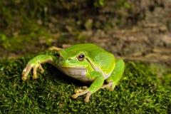 Европейская зеленая древесная лягушка скрываясь для добычи в окружающей среде Стоковое фото RF