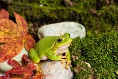 Европейская зеленая древесная лягушка скрываясь для добычи в окружающей среде стоковые фотографии rf
