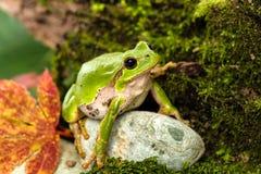 Европейская зеленая древесная лягушка скрываясь для добычи в окружающей среде Стоковые Изображения