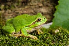 Европейская зеленая древесная лягушка скрываясь для добычи в окружающей среде стоковые изображения rf