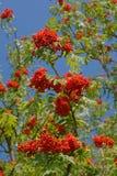 Европейская зола горы с ягодами Стоковое фото RF