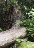 Европейская дикая кошка (silvestris silvestris кошки) Стоковые Изображения