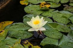 Европейская лилия белой воды, nenuphar белой воды розовое или белое, Nymphaea alba Стоковое Изображение RF