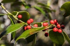 Европейская листва падуба с ягодами стоковое фото rf
