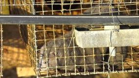 Европейская норка, lutreola Mustela, смотря через решетку его клетки Промышленное размножение животных меха сток-видео