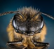 Европейская пчела меда, пчела меда, пчела, пчела Стоковая Фотография RF