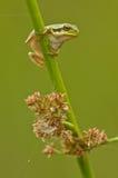 Европейская древесная лягушка Стоковые Фотографии RF