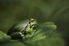 Европейская древесная лягушка Стоковые Изображения RF