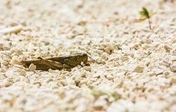 Европейская саранча Стоковое фото RF