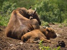 Европейская семья буйволовой кожи Стоковая Фотография RF