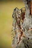Европейская цикада Стоковые Изображения RF