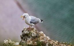 Европейская чайка сельдей на скалах Etretat Стоковое фото RF