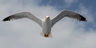 Европейская чайка сельдей Стоковые Изображения RF