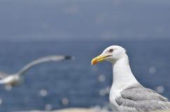 Европейская чайка сельдей Стоковое Изображение RF