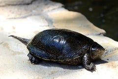 Европейская черепаха пруда лежа на мостовой около пруда стоковые изображения