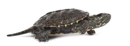 Европейская черепаха пруда, orbicularis Emys, перед Стоковая Фотография