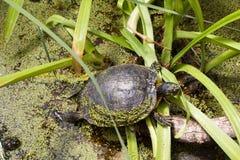 Европейская черепаха трясины Стоковая Фотография