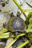 Европейская черепаха трясины Стоковое Изображение