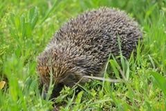 европейские детеныши hedgehog Стоковое Изображение