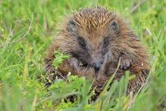 европейские детеныши hedgehog Стоковые Фотографии RF