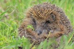 европейские детеныши hedgehog Стоковые Фото