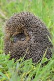 европейские детеныши hedgehog Стоковая Фотография