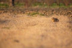 Европейские зайцы во время захода солнца Стоковые Фотографии RF