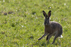 европейские зайцы Стоковые Фото