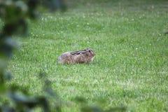 европейские зайцы Стоковая Фотография RF