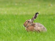 Европейские зайцы - europaeus Lepus Стоковое фото RF