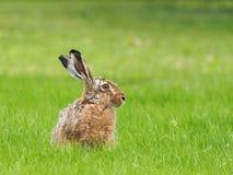 Европейские зайцы - europaeus Lepus Стоковые Изображения