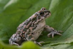 Европейские зеленые viridis Bufo жабы Стоковое Изображение