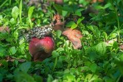 Европейские зеленые жаба или viridis Bufo Стоковое Фото
