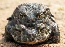 Европейские зеленые viridis Amplexus Bufo жабы Стоковая Фотография