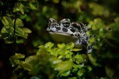 Европейские зеленые viridis Bufo жабы внутри Стоковые Изображения