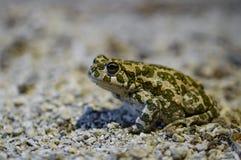 Европейские зеленые viridis Bufo жабы сидя на земле в карьере известняка Limhamn Стоковые Изображения RF