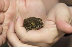 Европейские зеленые viridis Bufo жабы сидя на человеческой руке Стоковые Фотографии RF