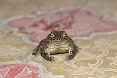 Европейские зеленые viridis Bufo жабы Стоковое Фото