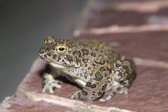 Европейские зеленые viridis Bufo жабы Стоковые Изображения