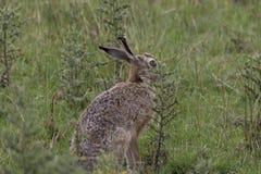 Европейские коричневые зайцы, усаживание, кладя и бежать среди высокорослой травы Стоковые Изображения