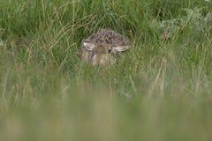 Европейские коричневые зайцы, усаживание, кладя и бежать среди высокорослой травы Стоковая Фотография