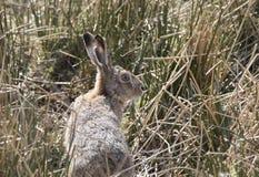 Европейские коричневые зайцы, усаживание, кладя и бежать среди высокорослой травы Стоковое Изображение RF
