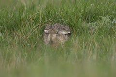 Европейские коричневые зайцы, усаживание, кладя и бежать среди высокорослой травы Стоковое Изображение