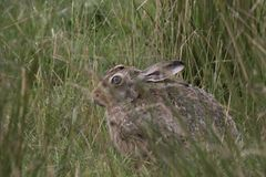 Европейские коричневые зайцы, усаживание, кладя и бежать среди высокорослой травы Стоковое Фото
