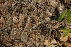 Европейские красные муравьи роясь на дереве стоковые изображения