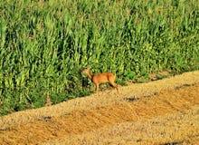 Европейские олени косуль - capreolus Capreolus на летний день Стоковая Фотография RF
