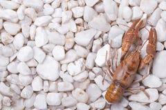 Европейские ракы - astacus Astacus Стоковое Фото