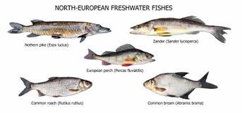 Европейские рыбы Стоковое Изображение RF