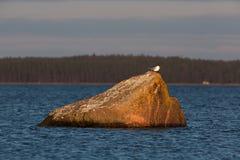 европейские сельди чайки Стоковые Фотографии RF