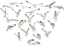 Европейские чайки сельдей, argentatus Larus стоковое фото